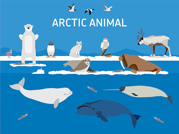 Animals of the Arctic. Flat style illustration Animals of the Arctic. Vector Set of polar mammals and birds. Flat style illustration. Penguin, seal, lemming, owl, bear, fox, caribou, walrus, duck, pink Seagull gull white and greenland whale  beluga whale stock illustrations