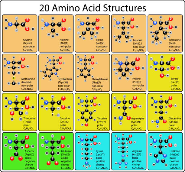 Animo Acid ball and stick Structure Animo Acid ball and stick Structure amino acid stock illustrations