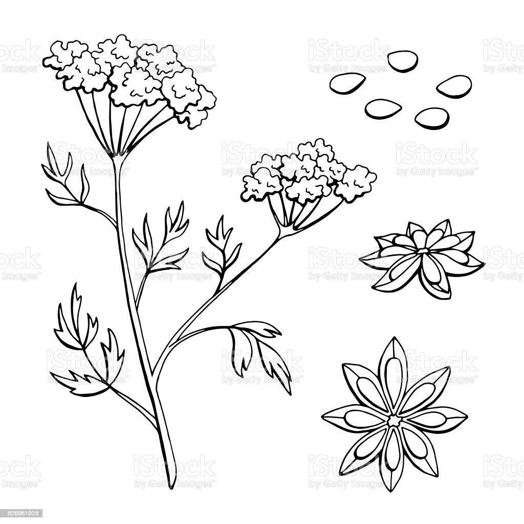 Anise herb graphic black white sketch isolated illustration vector vector art illustration