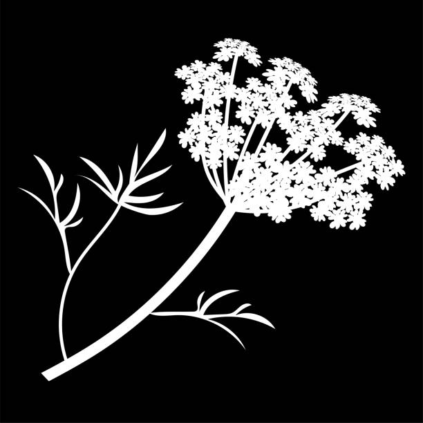 Anise or Angelica archangelica flowers isolated logo icon. white silhouette. Vector vector art illustration