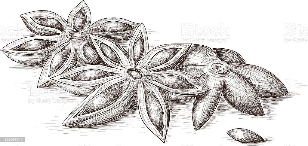Anise vector art illustration