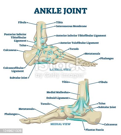 istock Ankle joint vector illustration. Labeled educational leg structure scheme. 1249621326