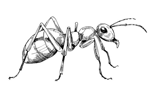 Ant sketch. Hand drawn illustration converted to vector Ant sketch. Hand drawn illustration converted to vector ant stock illustrations