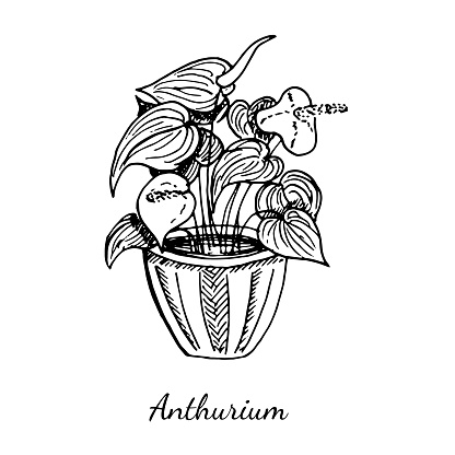 Anthurium home plant in pot with beautiful red flowers isolated on white background. Vector sketch hand drawn illustration in doodle outline style. Concept of cozy home, gardening, blooming