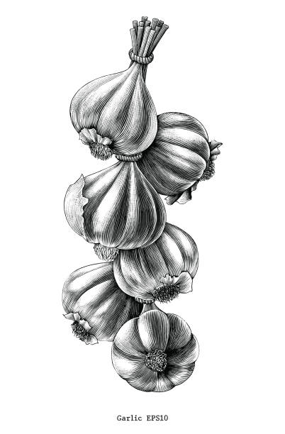 Antique engraving illustration of garlic hand draw black and white clip art isolated on white background Antique engraving illustration of garlic hand draw black and white clip art isolated on white background garlic stock illustrations