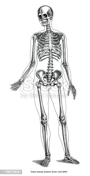 Antique engraving illustration of Human anatomy skeleton (front view) black and white clip art isolated on white background