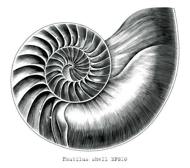 Antique engraving illustration of Nautilus shell hand draw black and white clip art isolated on white background Antique engraving illustration of Nautilus shell hand draw black and white clip art isolated on white background mollusk stock illustrations