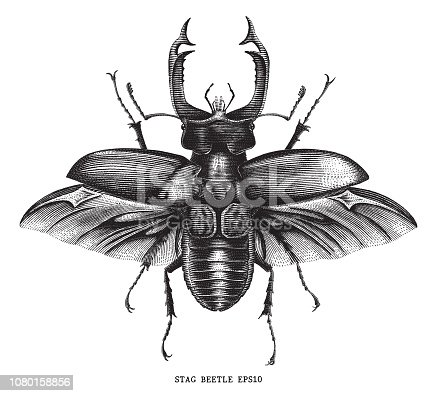 Antique of insect stag beetle bug illustration engraving vintage style isolated on white background