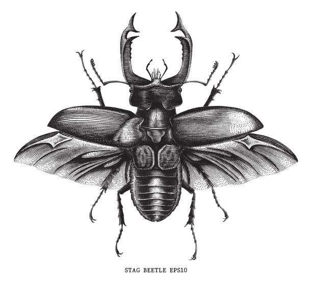 Antique of insect stag beetle bug illustration engraving vintage style isolated on white background Antique of insect stag beetle bug illustration engraving vintage style isolated on white background insects stock illustrations
