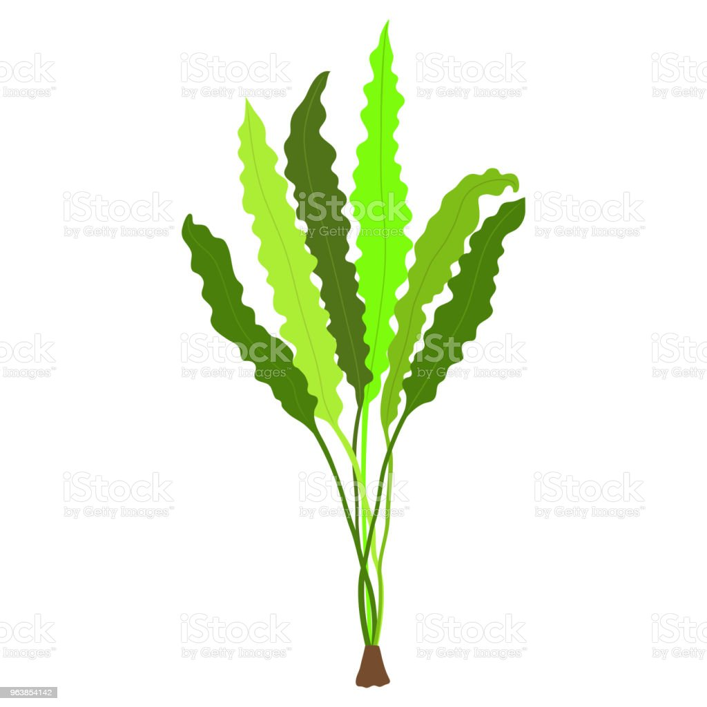 Aponogeton undulatus. Seaweed isolated on white background. Vector illustration. - Royalty-free Aquarium stock vector