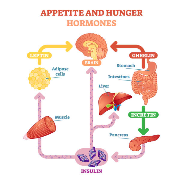 Appetite and hunger hormones vector diagram illustration, graphic educational scheme. Appetite and hunger hormones vector diagram illustration, graphic educational scheme. Educational medical information. adipose cell stock illustrations