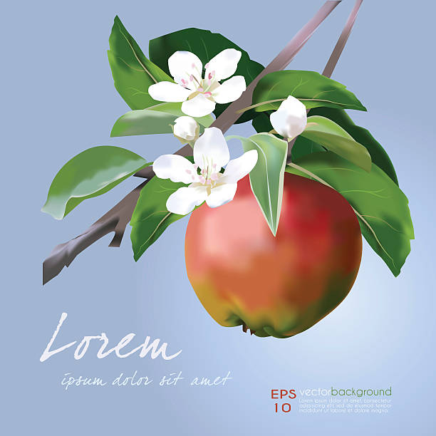 Apple Blossom and Fruit vector illustration Apple Blossom and Fruit vector illustration. Floral banner for food and cosmetics package labeling, greeting cards, invitations, life events announcements, decals. Sample text. Vector easy to edit. apple blossom stock illustrations