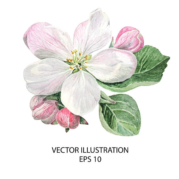 Apple Blossoming Flowers Botanical Hand drawn Watercolor Vector Illustration apple blossom stock illustrations