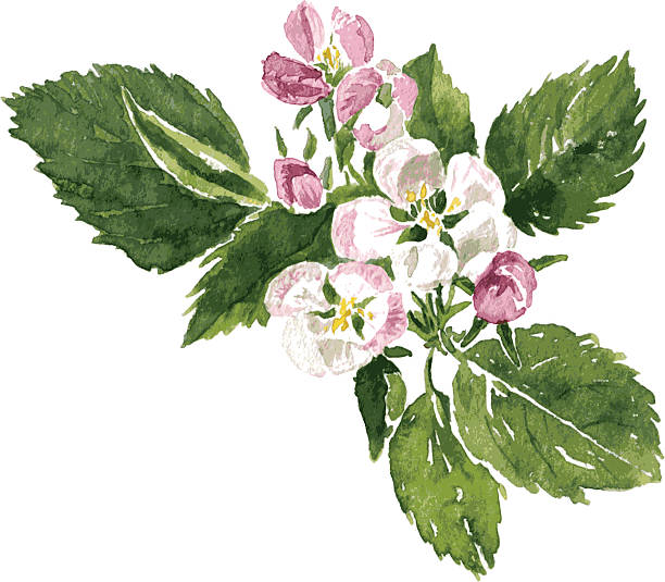 apple blossoms spring flowers of apple tree, pink apple blossoms with green leaves, hand drawn design element, vector illustration apple blossom stock illustrations