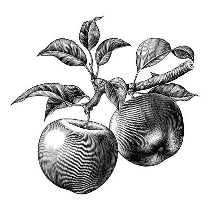 Apple branch hand draw vintage clip art isolated on white background