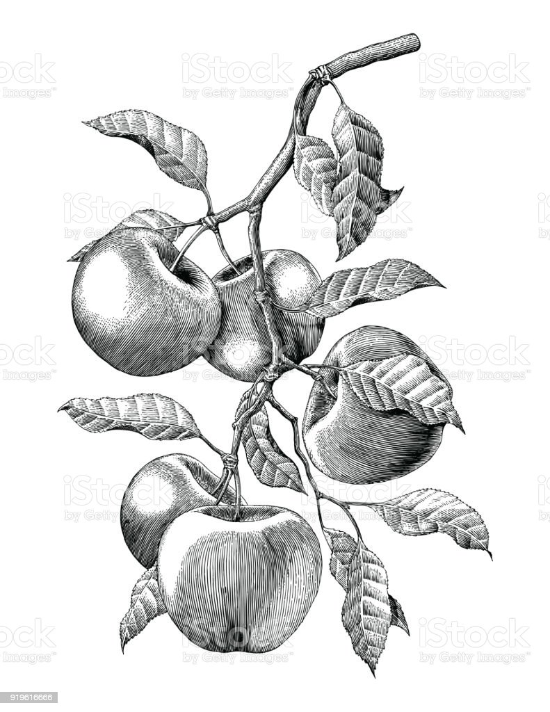 Apple branch hand drawing vintage engraving illustration isolate on white background vector art illustration