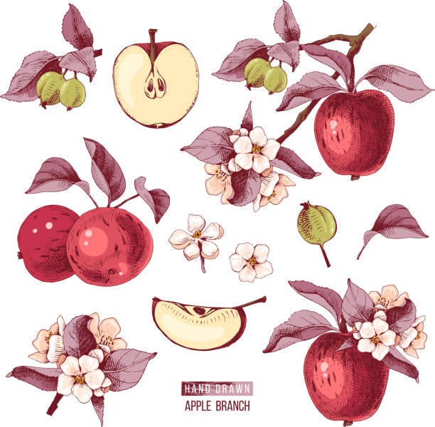 Apple fruit vector set. Hand drawn colorful illustration Apple fruit vector set. Hand drawn colorful vector illustration apple blossom stock illustrations