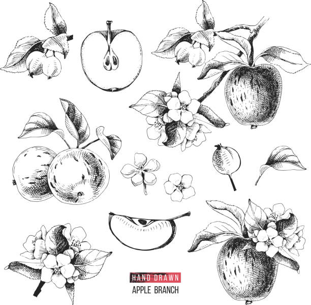 Apple fruit vector set. Hand drawn colorful illustration Apple fruit vector set. Hand drawn black and white vector illustration apple blossom stock illustrations