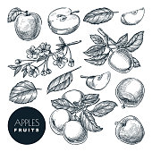 Apple sketch vector illustration. Sweet fruits harvest, hand drawn garden agriculture and farm isolated design elements.