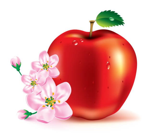 Apple. The fruit and flowers.  apple blossom stock illustrations