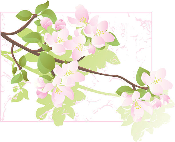 Apple Tree Blossoms Color Drawing Vector illustration of an apple tree branch in blossom. peach blossom stock illustrations