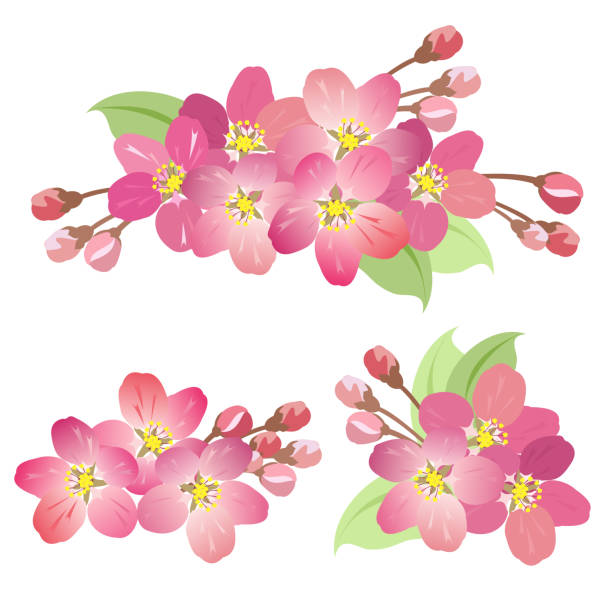 Apple tree blossoms, vector illustrations. Apple tree blossoms. Set of hand drawn vector illustrations of blooming apple tree branches with buds, flowers and leaves on white background. apple blossom stock illustrations