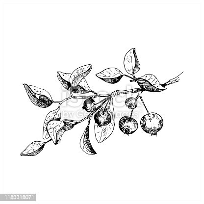 Apple tree branch. Hand drawn sketch style vector illustration. Isolated on white.