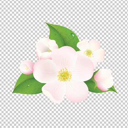 Apple Tree Flowers With Transparent Background