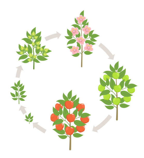 Apple tree growth stages. Vector illustration. Ripening period progression. Fruit tree life cycle animation plant seedling. Apple increase phases. Apple tree growth stages. Ripening period progression. Fruit tree life cycle animation plant seedling. Apple increase phases. Flat vector color Illustration clipart. On white background. Malus sylvestris. apple blossom stock illustrations