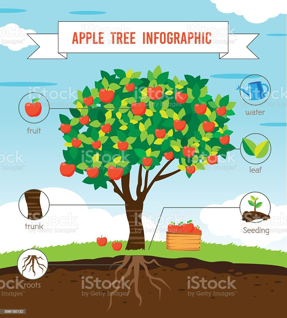 Apple tree infographic vector art illustration