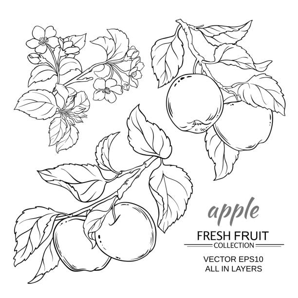 apple vector set apple branches vector set on white background apple blossom stock illustrations