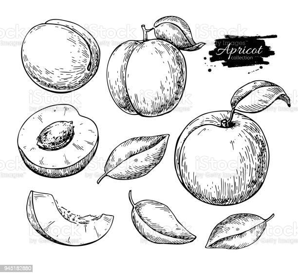 Apricot vector drawing hand drawn fruit and sliced pieces summer food vector id945182880?b=1&k=6&m=945182880&s=612x612&h=tiaathmyrixryxhtigngrr7w ivcfaq3nxwjxsi2sri=