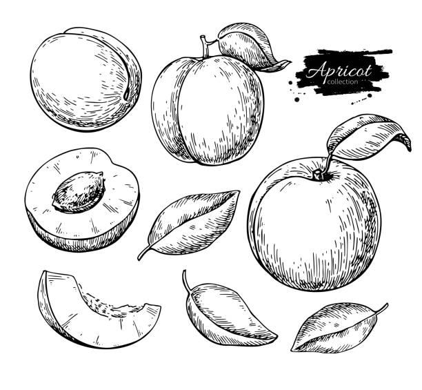 aprikose vektor-zeichenprogramm. hand gezeichnet obst und stücke geschnitten.  sommer essen - aprikose stock-grafiken, -clipart, -cartoons und -symbole