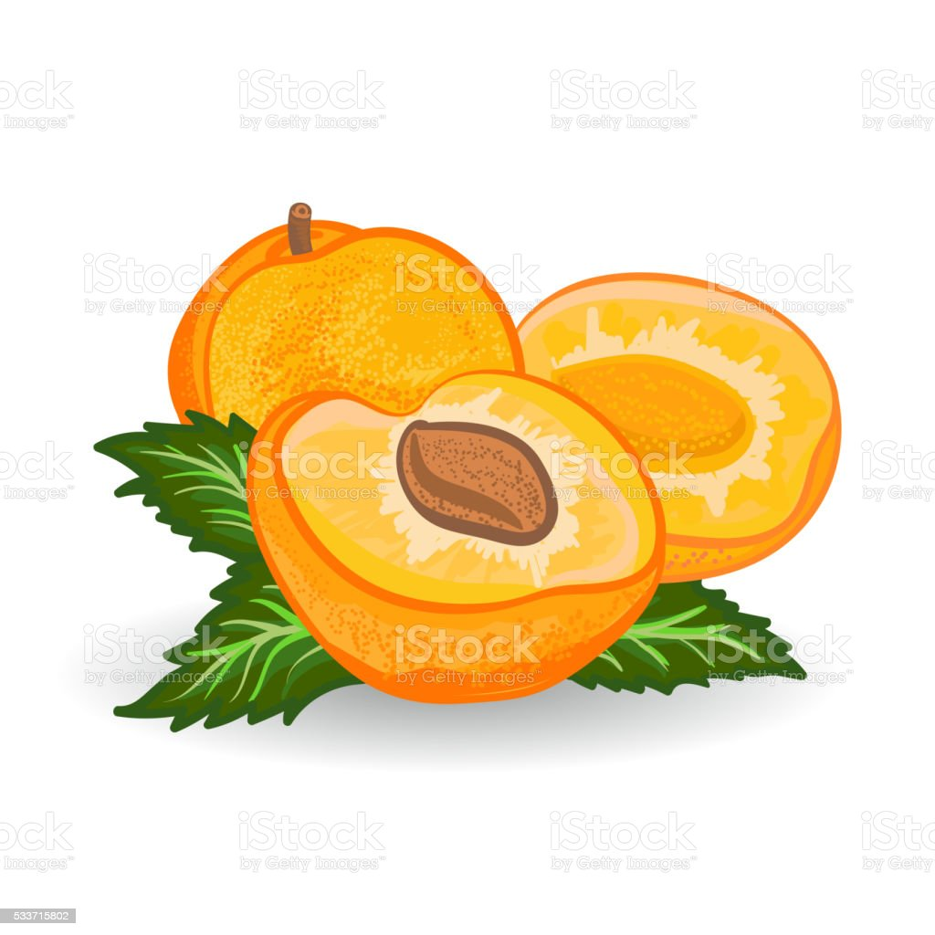 Apricot. Vector painting on white background vector art illustration