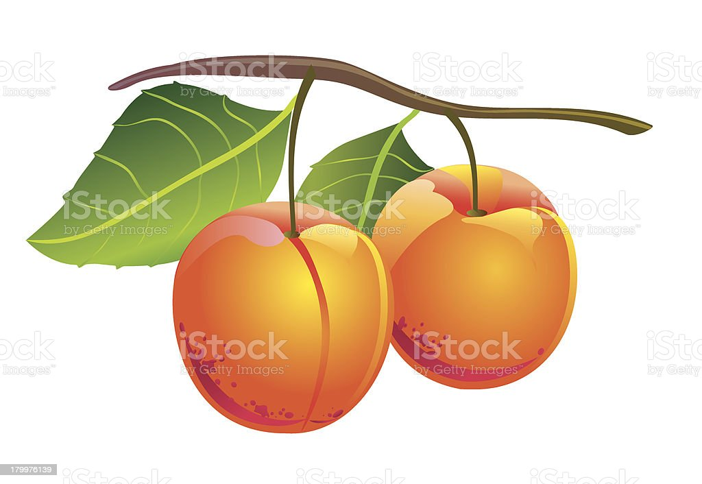 Apricots royalty-free stock vector art