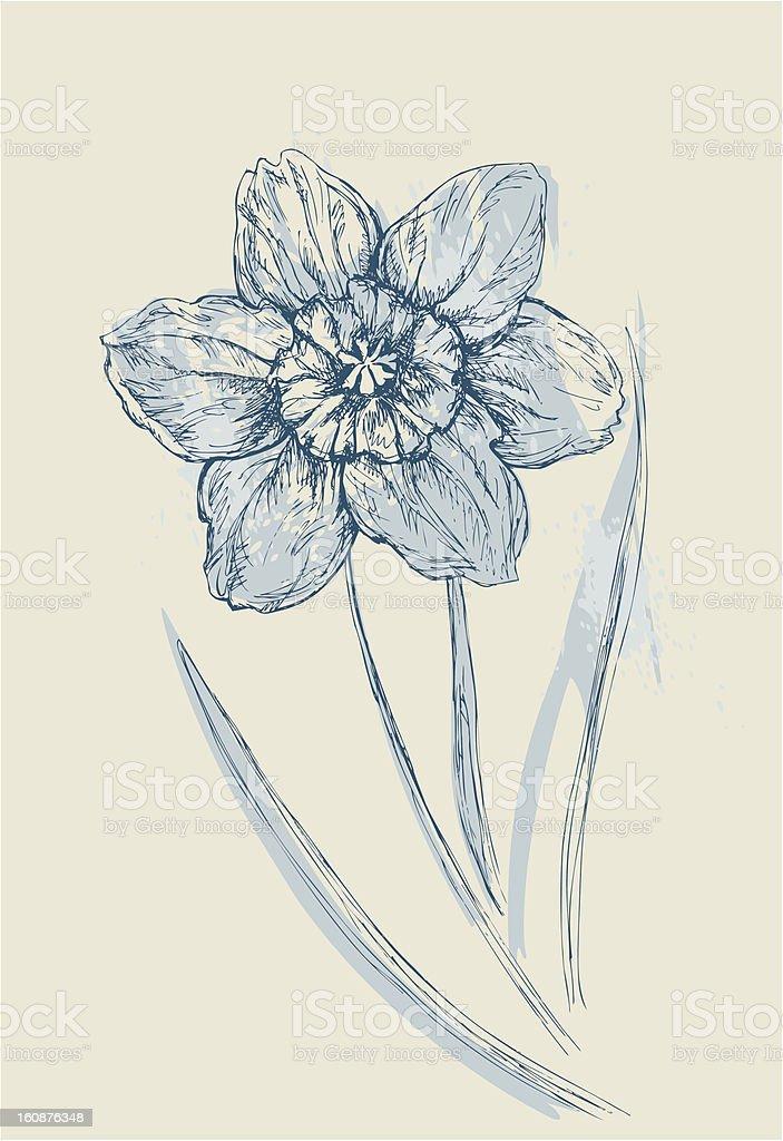 Aquarelle Narcissus royalty-free stock vector art