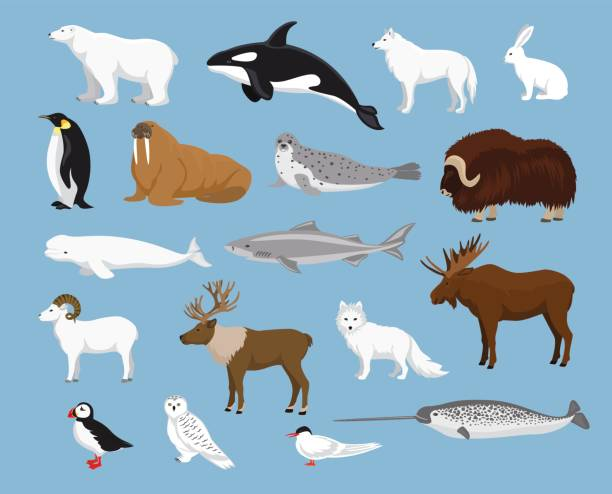 Arctic animals collection Arctic animals collection with reindeer, orca, narwhal, shark, musk ox, fox, wold, puffin, tern, moose, walrus, penguin, beluga whale, hare, polar bear, harp seal, dall sheep, snowy owl beluga whale stock illustrations