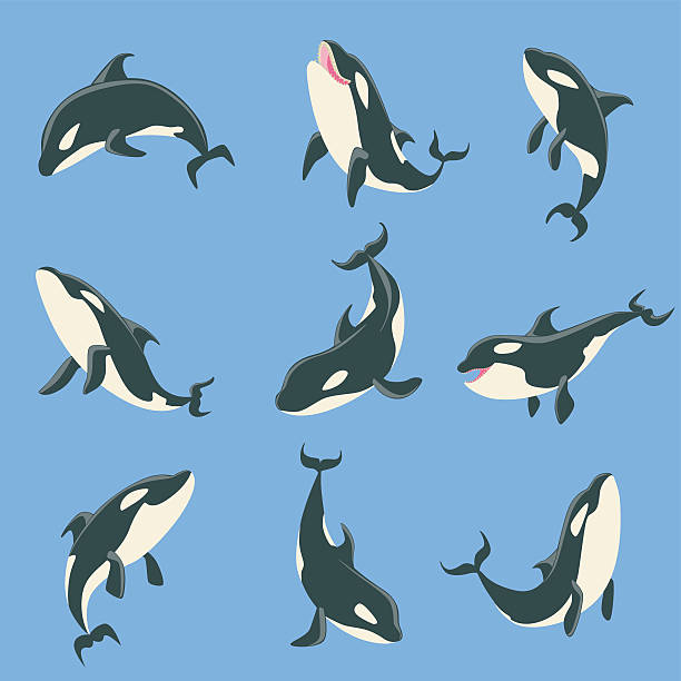 Arctic Orca Whale Different Body Positions Set Of Illustrations. Arctic Orca Whale Different Body Positions Set Of Illustrations. Collection Of Marine Animal Stickers In Simple Realistic Style On Blue Background. killer whale stock illustrations