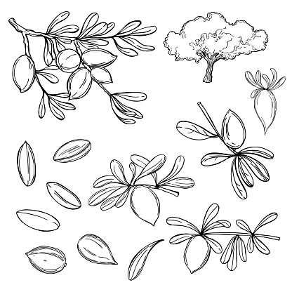 Argan plant, branches with fruits.  Vector illustration.