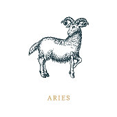 Aries zodiac symbol, hand drawn in engraving style. Vector graphic retro illustration of astrological sign Ram