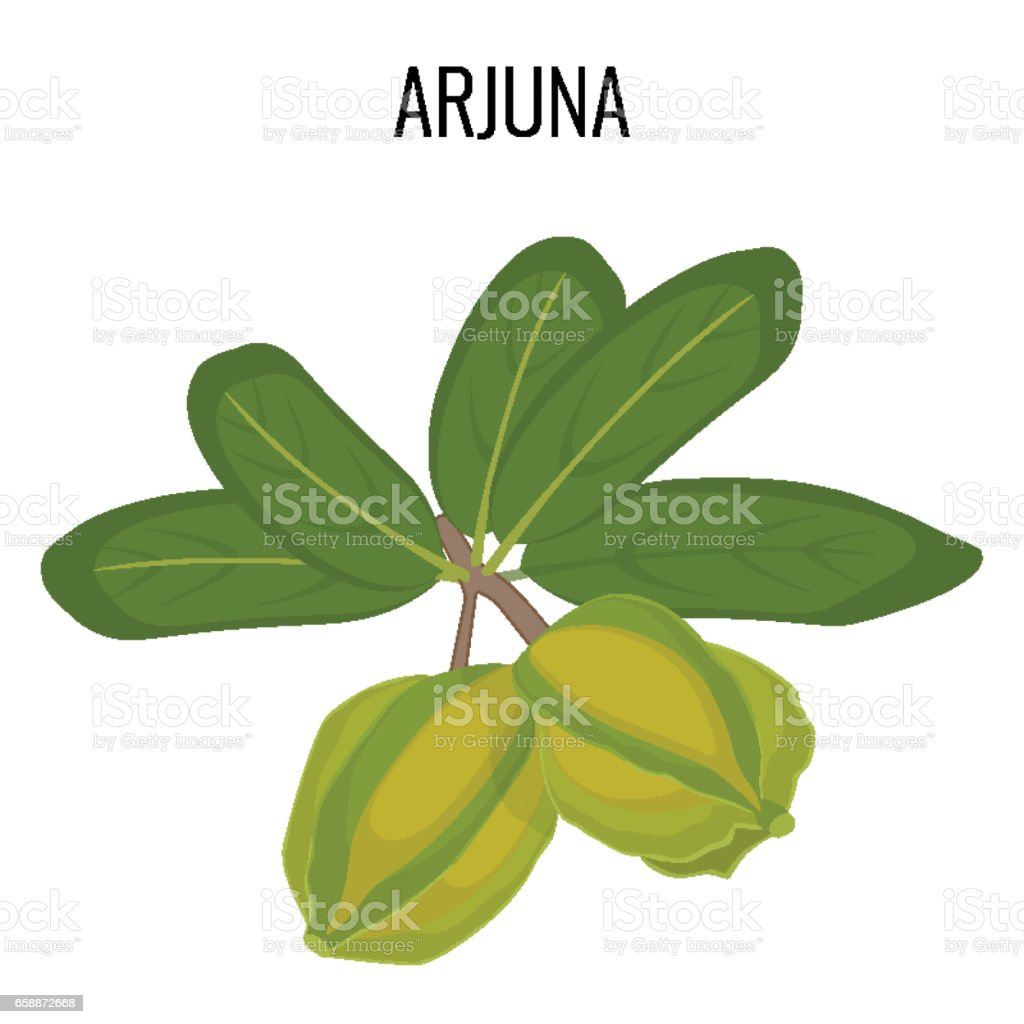 Arjuna ayurvedic medicinal herb isolated. White Marudah vector illustration vector art illustration