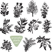 Set of different aromatic plants silhouettes. Various aromatic herbs drawings. Black design elements isolated on white background. Vector file is EPS8.
