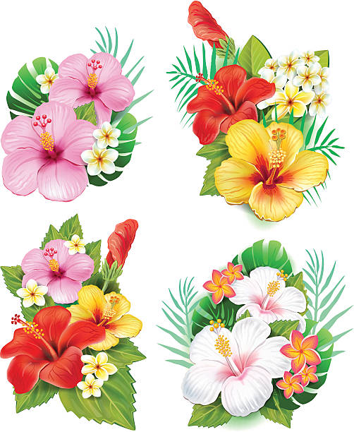 Arrangement from hibiscus flowers Arrangement from hibiscus flowers frangipani stock illustrations