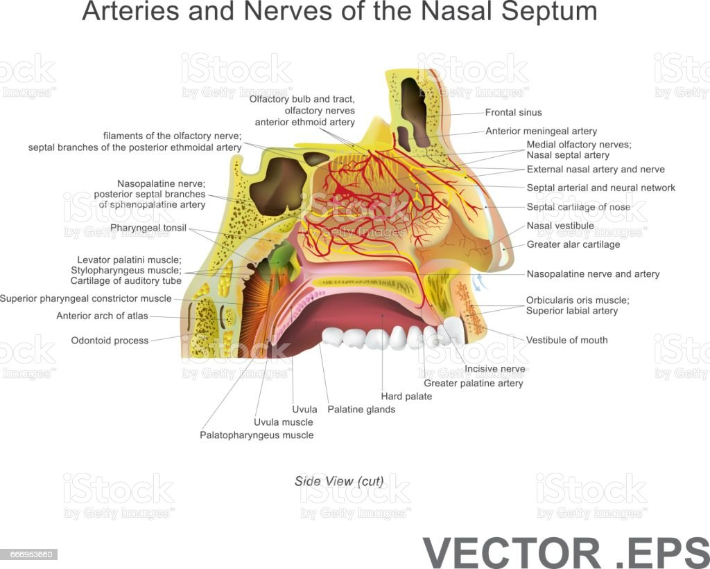 Arteries and Nerves of the Nasal Septum 30 x 30 vector art illustration