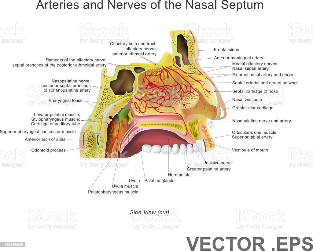 Arteries and Nerves of the Nasal Septum. Vector Art, Illustration. vector art illustration