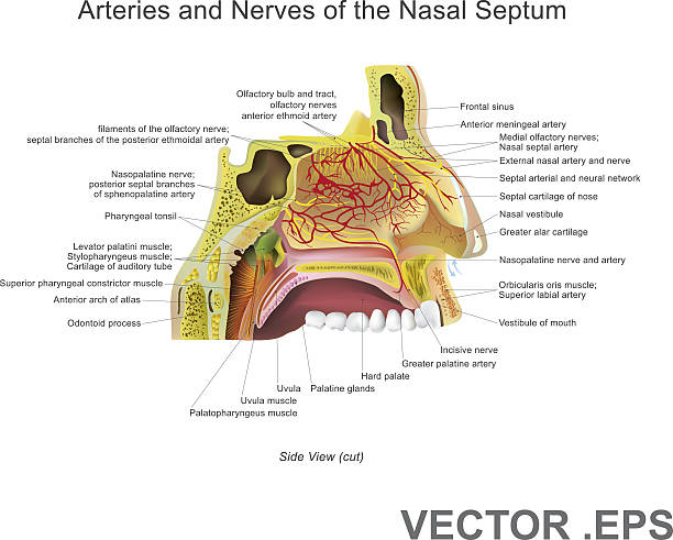 Arteries and Nerves of the Nasal Septum. Vector Art, Illustration. The nasal cavity (or nasal fossa) is a large air filled space above and behind the nose in the middle of the face. Each cavity is the continuation of one of the two nostril septum stock illustrations