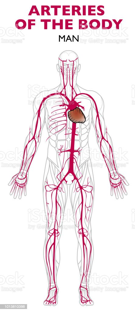 Arteries In The Human Body Anatomy Stock Vector Art & More Images of ...
