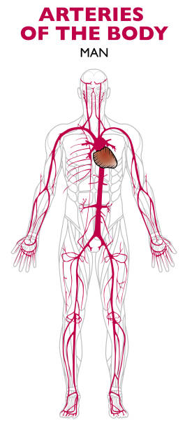 Royalty Free Subclavian Artery Clip Art, Vector Images ...
