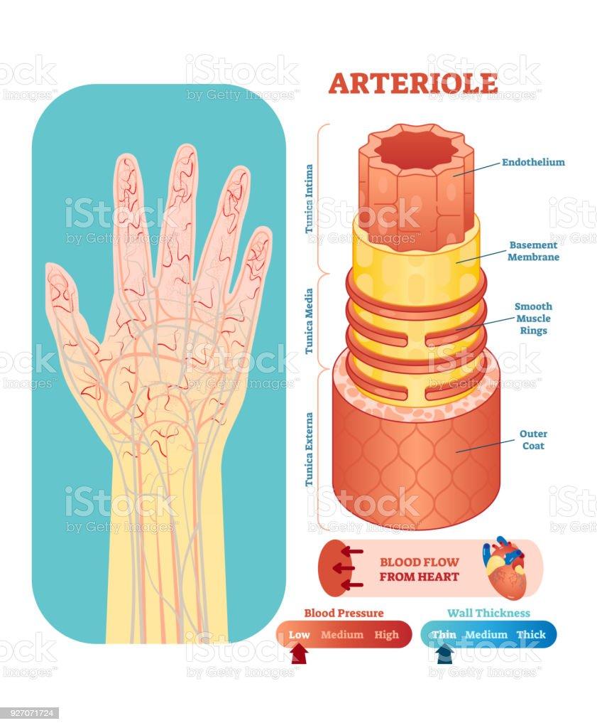 Arteriola Anatomische Vektorillustration Querschnitt ...