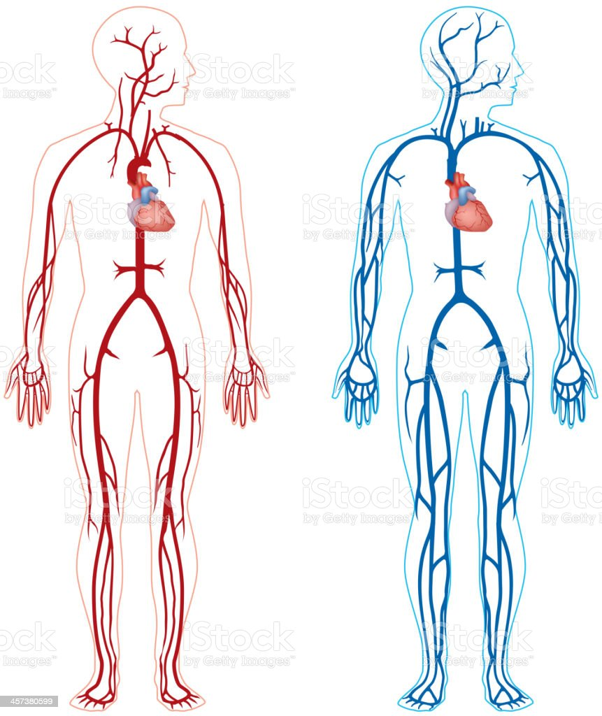 Artery And Vein Stock Vector Art More Images Of Anatomy 457380599